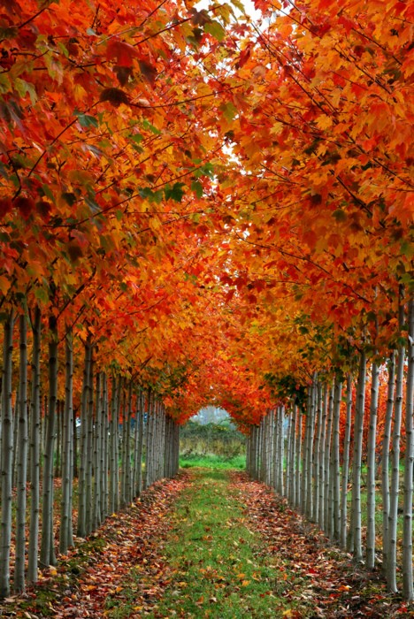 Trees with reddish leaves in Fall